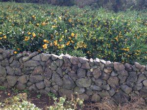 Tangerine groves