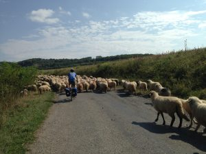 Herding sheep on the way up to Prad